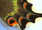 Butterfly (higher magnification)