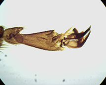 Hind leg of a honey bee (preparation)
